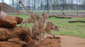 DCS Cheetah Enclosure Whipsnade Zoo 0872